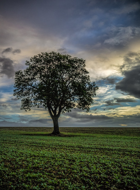 The lonely oak 4