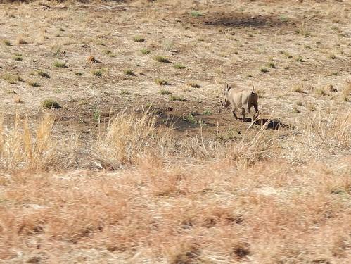 Tussen Windhoek en Weavers Rock - zwijntje