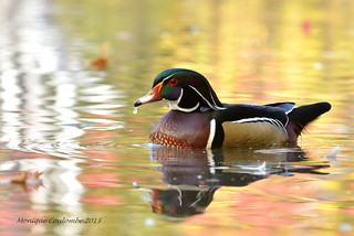 Canard branchu mâle - Wood Duck male | by Monique Coulombe