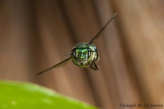 Orchid bee in flight
