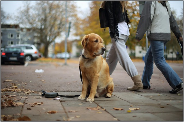 When you can drop the leash on the pavement and your Golden dont move an inch when you're out on a shopping spree...