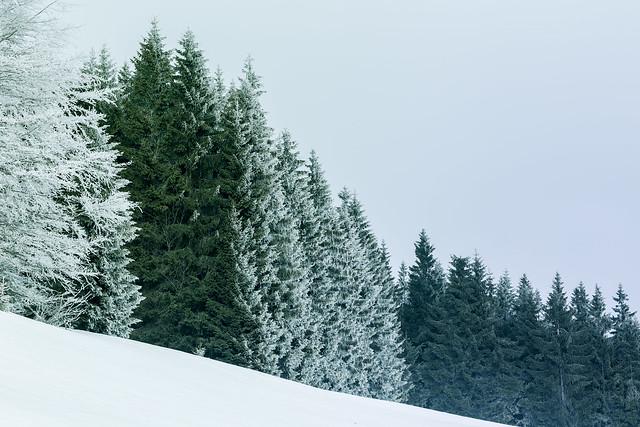 Fir forest #2