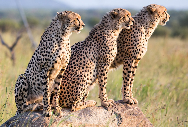 Cheetahs in Pilanesberg Nationalpark, South Africa
