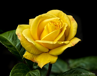 The yellow rose of Texas .... possibly | by Steve Wilson - over 10 million views Thanks !!