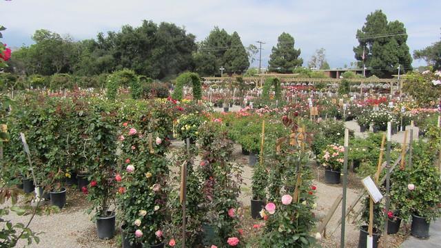 IMG_0205 la sumida roses goleta