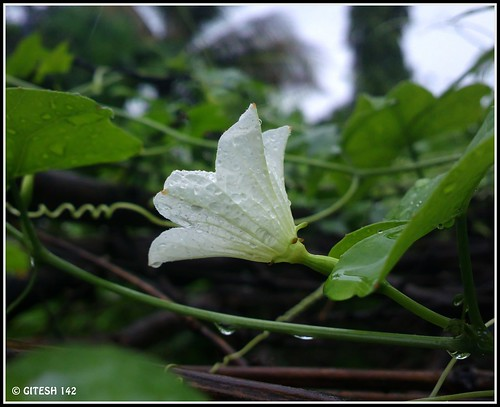 cameraphone india white flower nature rain closeup ilovenature whiteflower nokia photo flickr gourd maharashtra thane flickrup mobilecamera nationalgeographic thelook gitty indiaimages gitesh 41megapixel gitz thegreatphotographers picasa3 मराठीछायाचित्रकार talasari littlegourd nokia808 nokia808pureview vikaspada gitesh142 gitty3 ilovegreennature