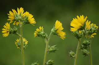 Compass Plant | by pchgorman