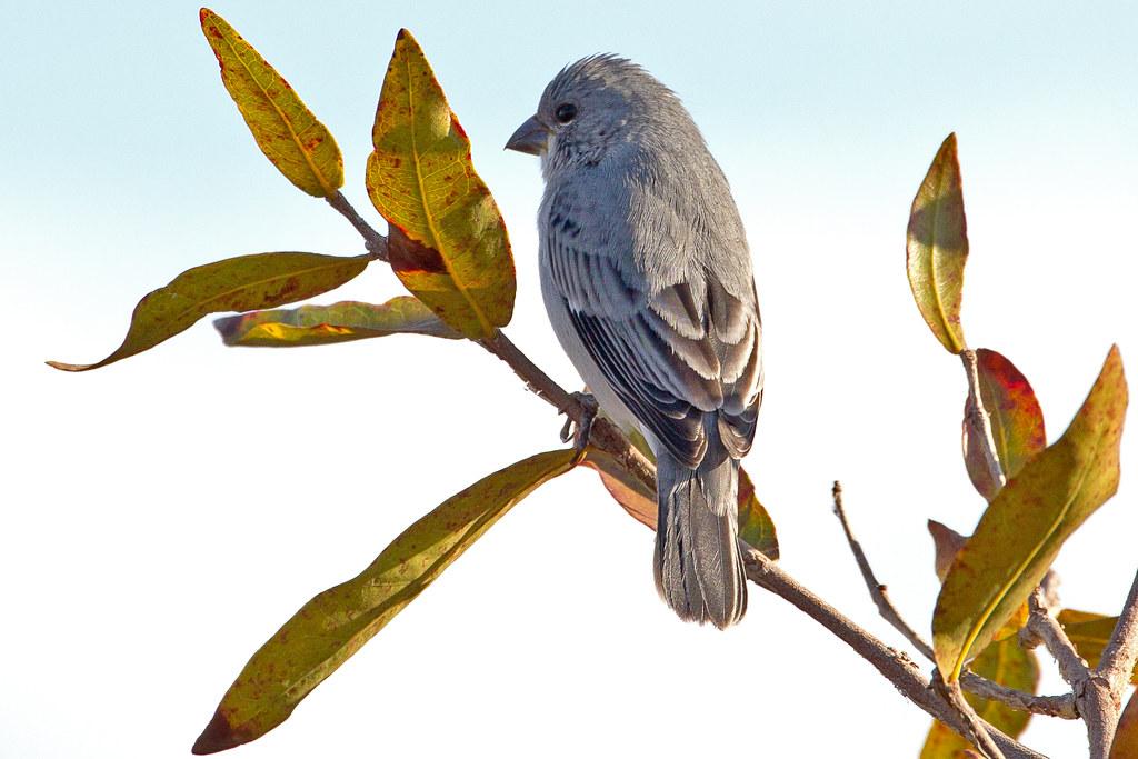 Plumbeous Seedeater (Sporophila plumbea) - male