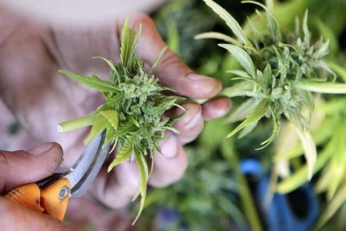 marijuana | by Skunk News Boy
