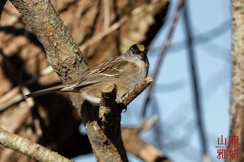 Golden-crowned Sparrow | by DragonSpeed