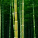 竹 日本京都