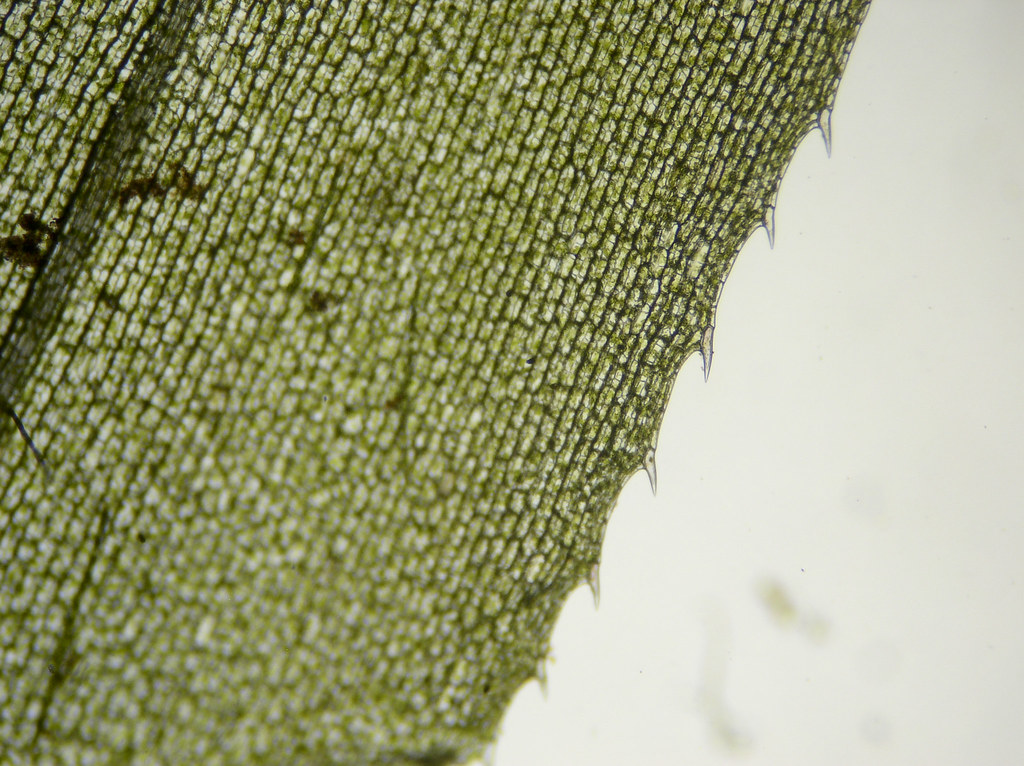 Microscope Elodea Leaf Cell - Micropedia