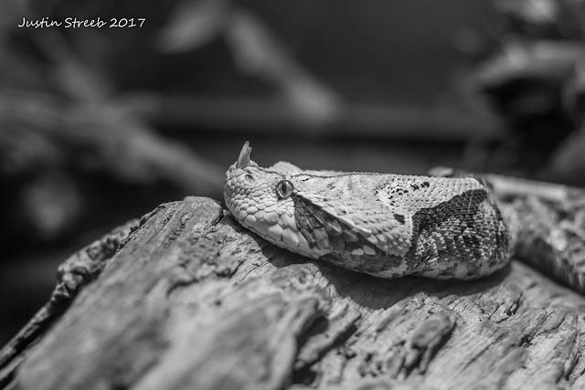 National Zoo Viper