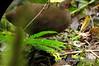 Nothocercus julius by olarte1