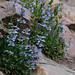 Blue Mist Penstemon