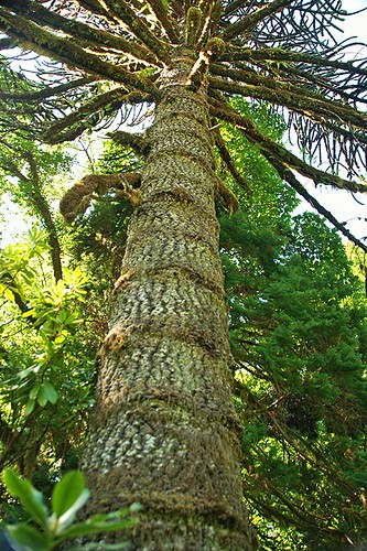 Monkey Tree in Ronning Gardens, near Holberg, Holberg Inlet, North Vancouver Island, British Columbia