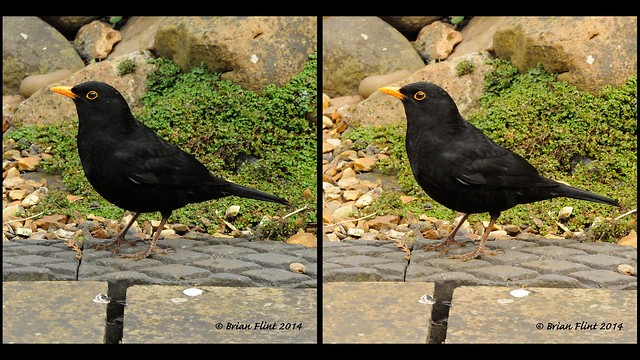 Male Blackbird posing - 3d parallel view