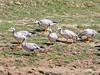 Горный гусь - Bar-headed Goose - Anser indicus by Vladislav Simonov
