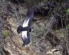 Male Andean Condor (Vultur gryphus) by Frank Shufelt