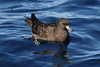 Flesh-footed Shearwater  Puffinus carneipes by Neil Cheshire