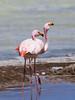 James's Flamingo (Phoenicoparrus jamesi) by Sergey Pisarevskiy