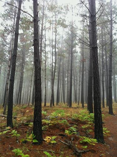 ca trees nature landscape pebblebeach fogforest