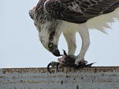 Hungry Raptor