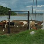 DSC_0094-elevage commercial   retour vers Harare