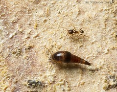 Rove beetle with ant