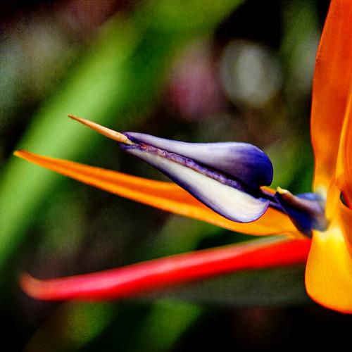 sunlight flower color macro nature square flora bokeh textures birdofparadise 7d pbj 1crzqbn languageofparadise