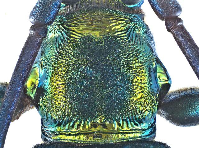 Polyzonus spec 10a Pronotum