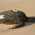 Sea turtle listening to NPR, Oahu