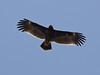 Большой подорлик Aquila clanga Greater Spotted Eagle by Vladislav Simonov