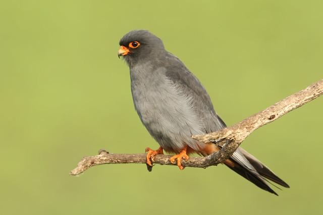 Falco vespertinus ♂ Red-footed Falcon