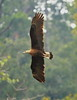Pallas's Fish-Eagle by RedAbbott