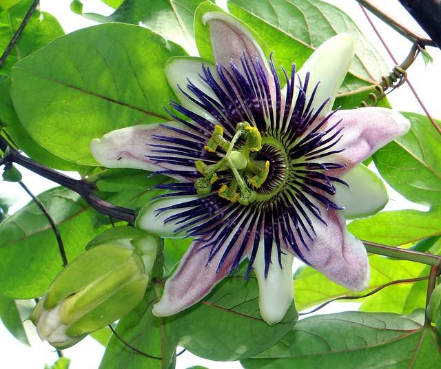 Passion Flower  #64: EMPRESS EUGENIE