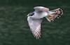 A northern goshawk in flight (2) by takashi muramatsu