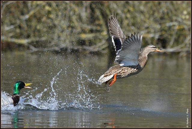 Canard colvert ( Anas platyrhynchos ) Focus Distance - 19.95 m