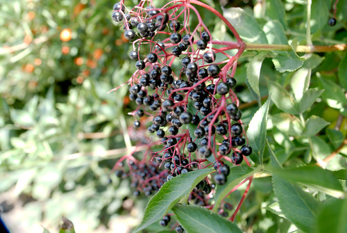 Elderberry | by cobaltfish