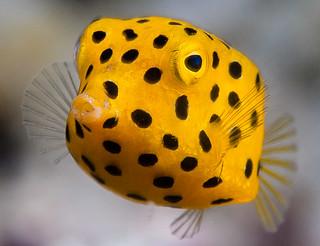 Yellow boxfish, young juvenile - Ostracion cubicus | by zsispeo