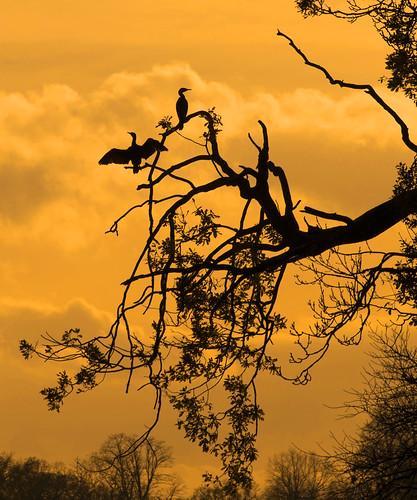 nikon sunset d800 cormorant trees silhouette sundown drying wildlife beak feathers water light