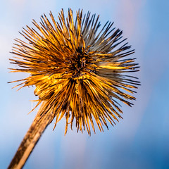 Withered Winter Weed