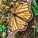 The Monarch por Rod Anzaldua