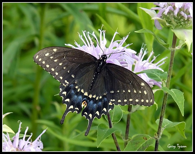 Black Swallowtail (Aug 2013)