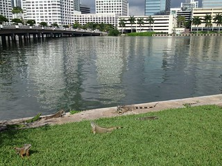 Iguanas Sunning Brickell Key | by Phillip Pessar