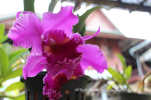 Cattleya of Thailand - One Kind of Orchid | by The SW Eden (สว อิเฎล)