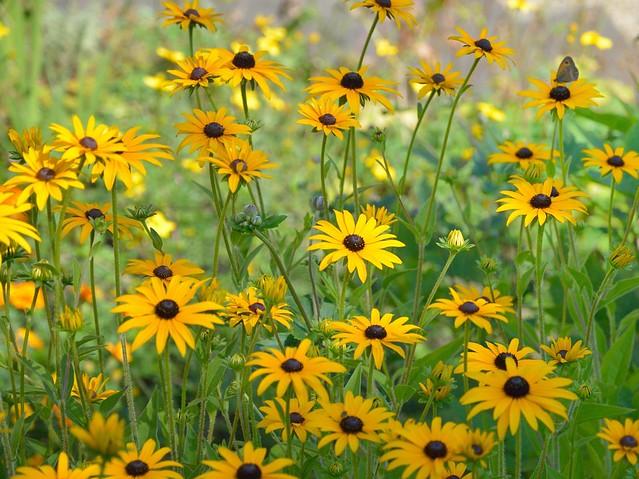 Pyrénées : Yellow flowers  1/2