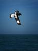 Cape Petrel in flight by jurassicjay
