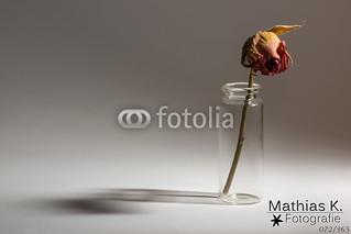 Trockene Rose | Projekt 365 | Tag 72