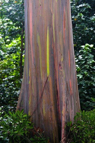 Rainbow Eucalyptus Tree | by & mina